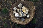 Basket full of flint nodules collected to make tools