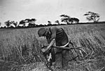 Scything the oat harvest, Boghouse, Mochrum 1940s