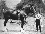 Groom with entire stallion, Sorbie, 1900's