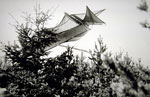 Antoinette monoplane of French design and flown by Dutch competitor Mr Kuller having landed in the trees at Lanark 1910
