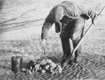 Man digging for lugworms as bait, Ardersier, Fort George, Inverness-shire, 1965