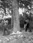 Foresters starting to fell a tree, Auchendrane, Ayrshire, 1942 - 1945