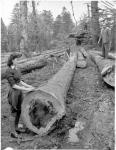'Lumberjills' measuring a felled tree, Auchendrane, Ayrshire, 1942 - 1945