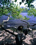 Loch Lomond and an Oak Tree at Inversnaid within the Loch Lomond Regional Park