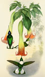 Gorgeted Sun Angel: [coloured lithograph] from John Gould's Hummingbirds, vol. 4, 1861