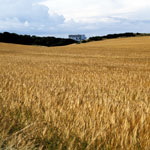 Barley fields by Torness Nuclear Power Station