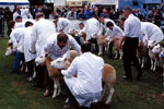 Texel sheep judging at 2002 Royal Highlands Show