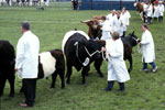 Belted Galloways at the 2002 Royal Highlands Show