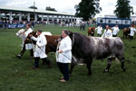 Beef Shorthorns at the 2002 Royal Highlands Show