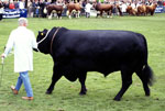 Aberdeen Angus bull at the 2002 Royal Highlands Show