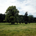 Aberdeen Angus Cattle at Ballindalloch Castle, Moray