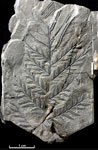 Alethopteris lonchitica Schlotheim; A fossil plant; (Plantae); Foxley, Airdrie, Lanarkshire