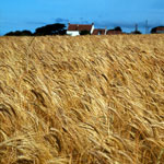 Barley fields, East Lothian