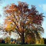 Autumn trees, Newbattle Abbey, Midlothian