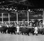 Scottish National Fat Stock Club show in the Waverley Market, Edinburgh