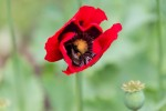 Detail of a bumblebee on a poppy, Seton Collegiate Church