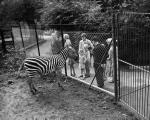 Zebra at Edinburgh Zoo