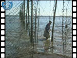 Catching salmon in a Solway stake net (video clip)